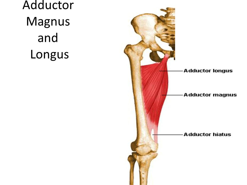 Adductor Magnus and Longus