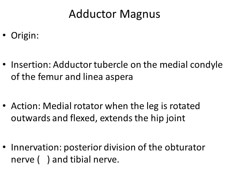 Adductor Magnus Origin: