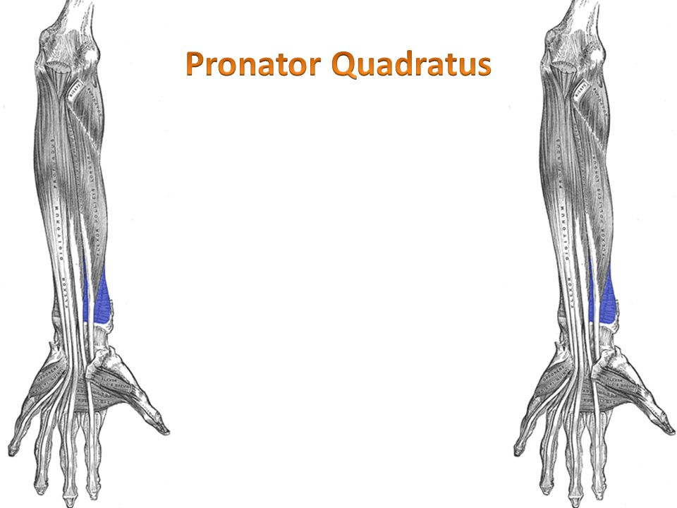 Pronator Quadratus