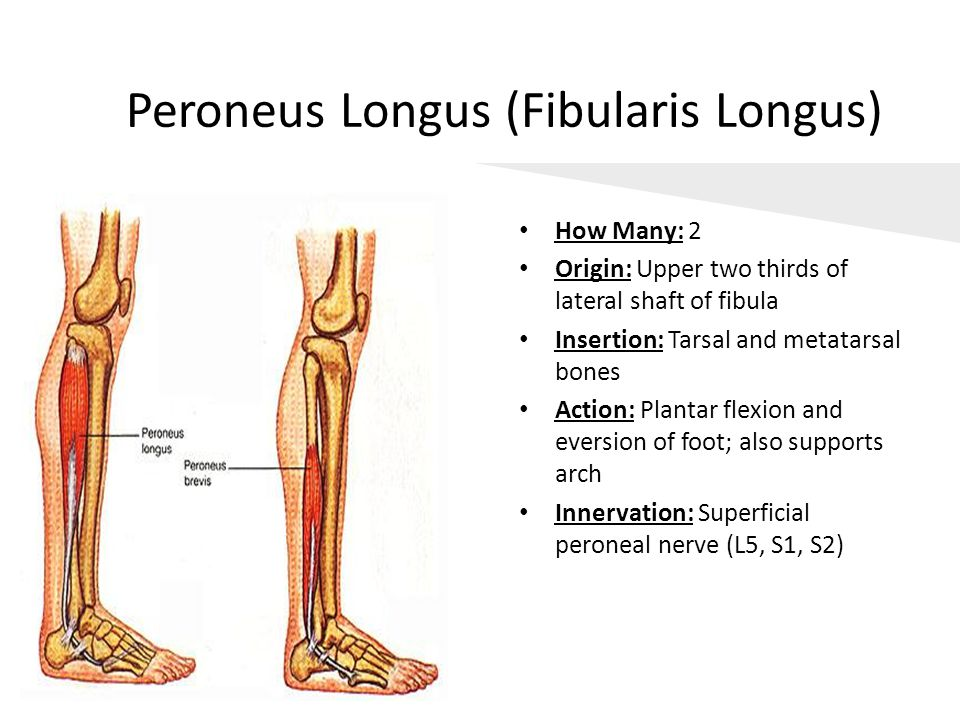 Peroneus Longus (Fibularis Longus)