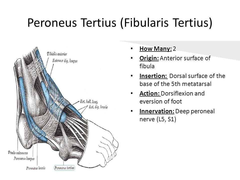 Peroneus Tertius (Fibularis Tertius)