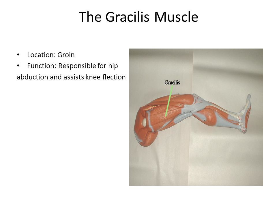 The Gracilis Muscle Location: Groin Function: Responsible for hip