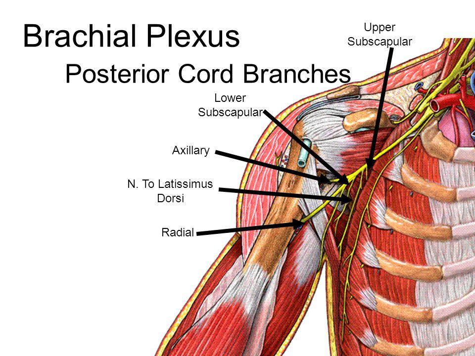 Brachial Plexus Posterior Cord Branches Upper Subscapular