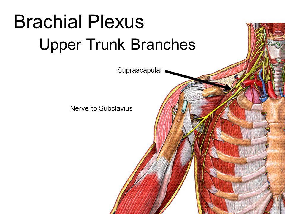 Brachial Plexus Upper Trunk Branches Suprascapular Nerve to Subclavius
