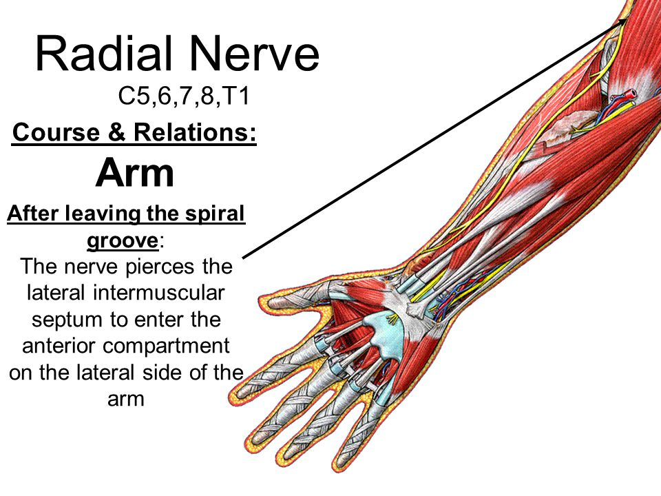 Radial Nerve Arm C5,6,7,8,T1 Course & Relations: