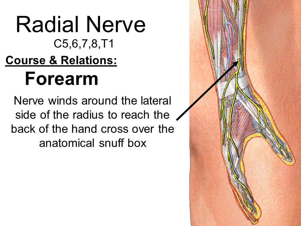 Radial Nerve Forearm C5,6,7,8,T1 Course & Relations: