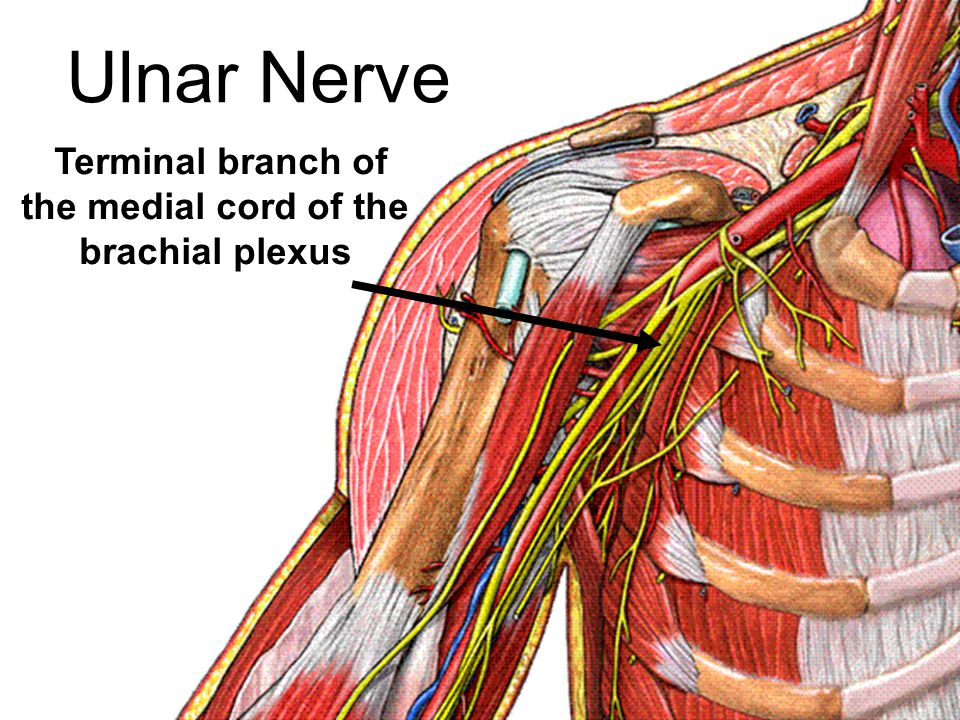 Terminal branch of the medial cord of the brachial plexus