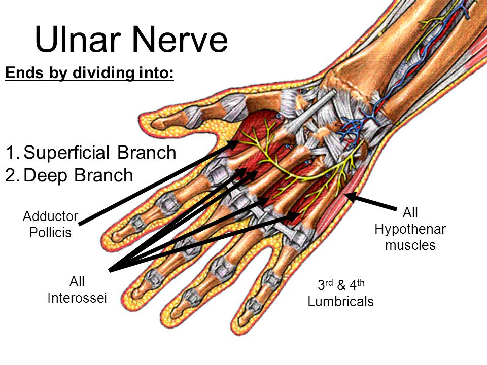 Ulnar Nerve Superficial Branch Deep Branch Ends by dividing into: