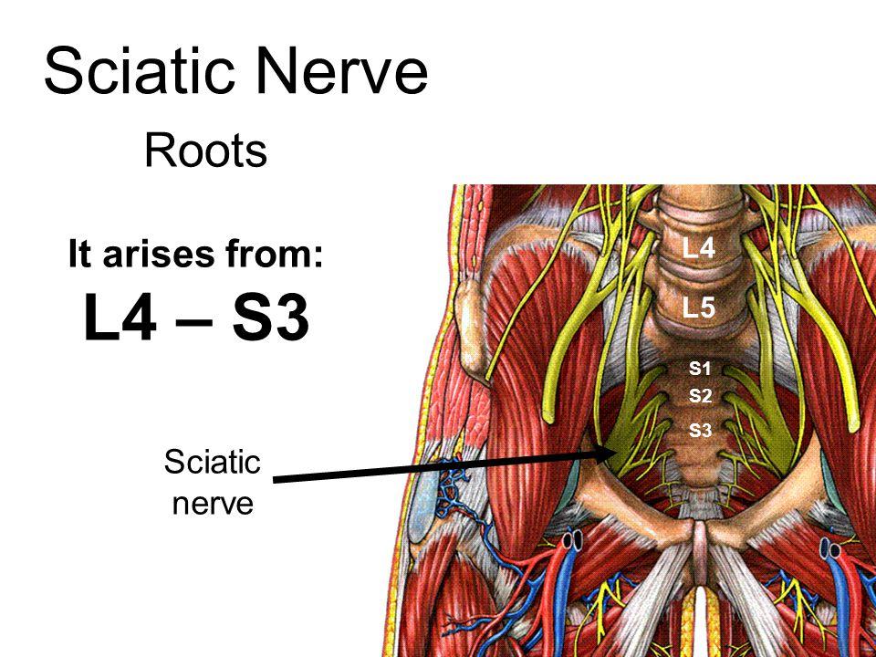 Sciatic Nerve Roots It arises from: L4 – S3 Sciatic nerve L4 L5 S1 S2