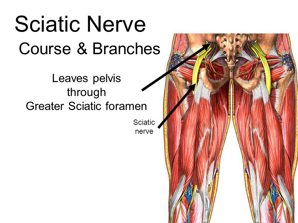 Leaves pelvis through Greater Sciatic foramen