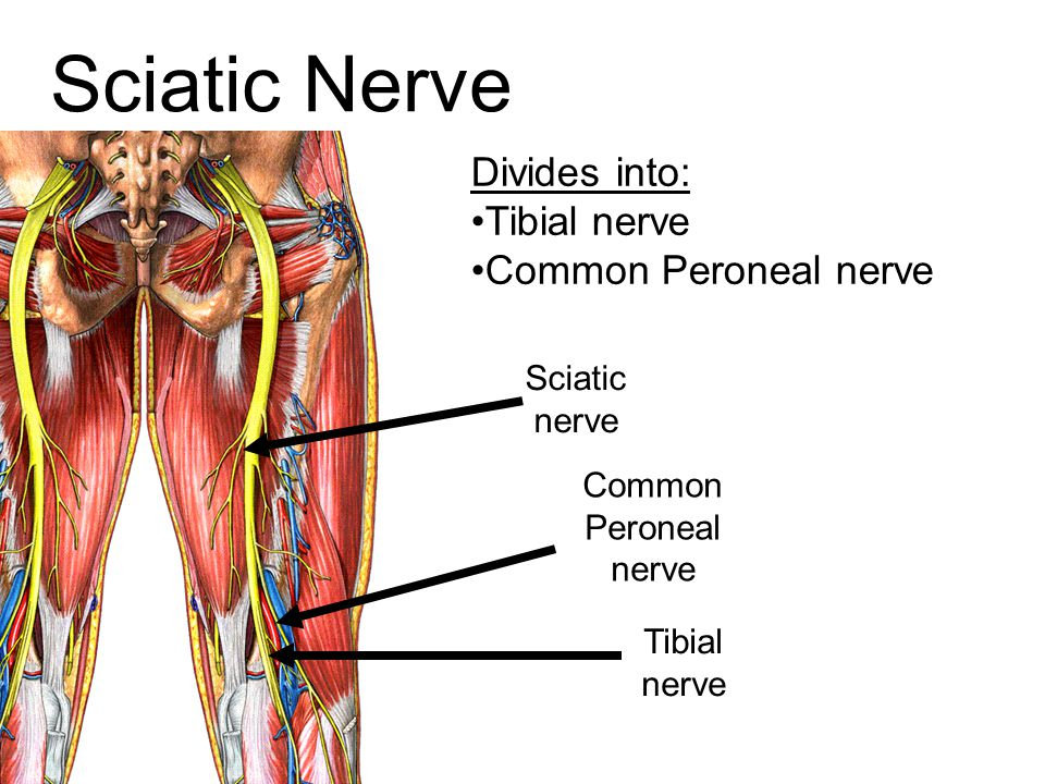 Sciatic Nerve Divides into: Tibial nerve Common Peroneal nerve