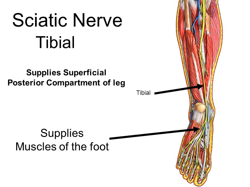 Supplies Superficial Posterior Compartment of leg