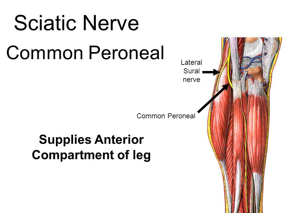 Supplies Anterior Compartment of leg