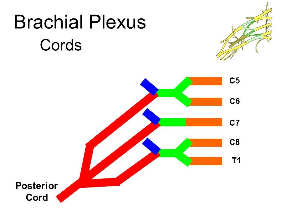 Brachial Plexus Cords C5 C6 C7 C8 T1 Posterior Cord