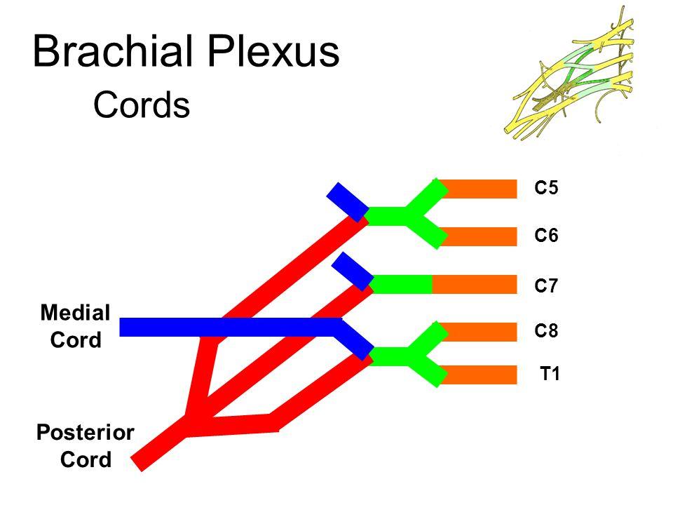 Brachial Plexus Cords C5 C6 C7 Medial Cord C8 T1 Posterior Cord