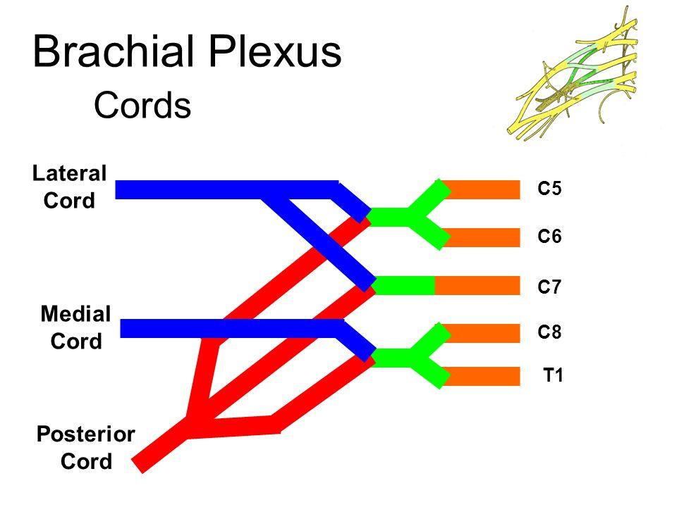 Brachial Plexus Cords Lateral Cord Medial Cord Posterior Cord C5 C6 C7