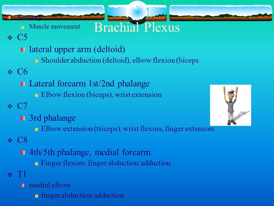 Brachial Plexus C5 lateral upper arm (deltoid) C6