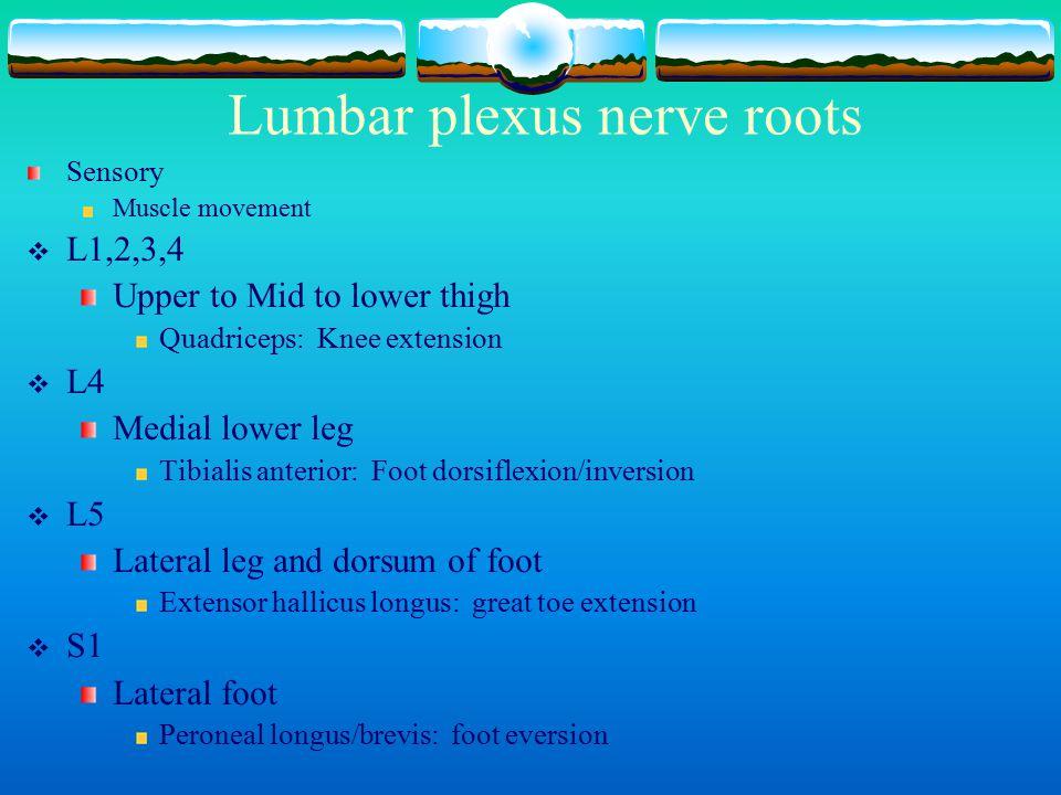 Lumbar plexus nerve roots