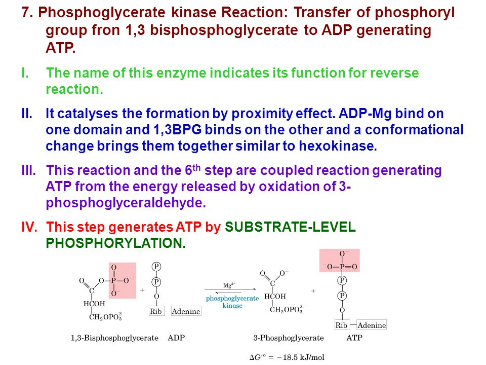 7. Phosphoglycerate kinase Reaction: Transfer of phosphoryl group fron 1,3 bisphosphoglycerate to ADP generating ATP.
