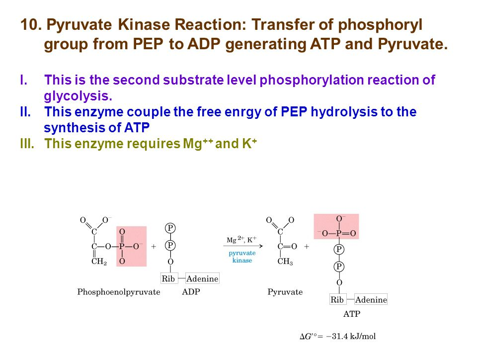 10. Pyruvate Kinase Reaction: Transfer of phosphoryl group from PEP to ADP generating ATP and Pyruvate.