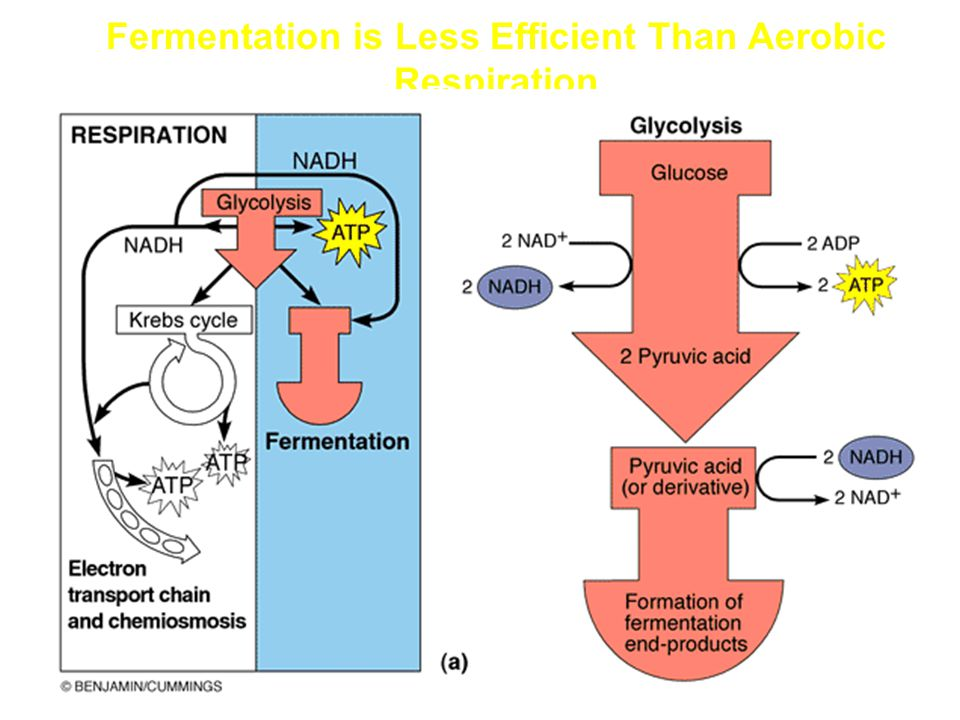 Fermentation is Less Efficient Than Aerobic Respiration
