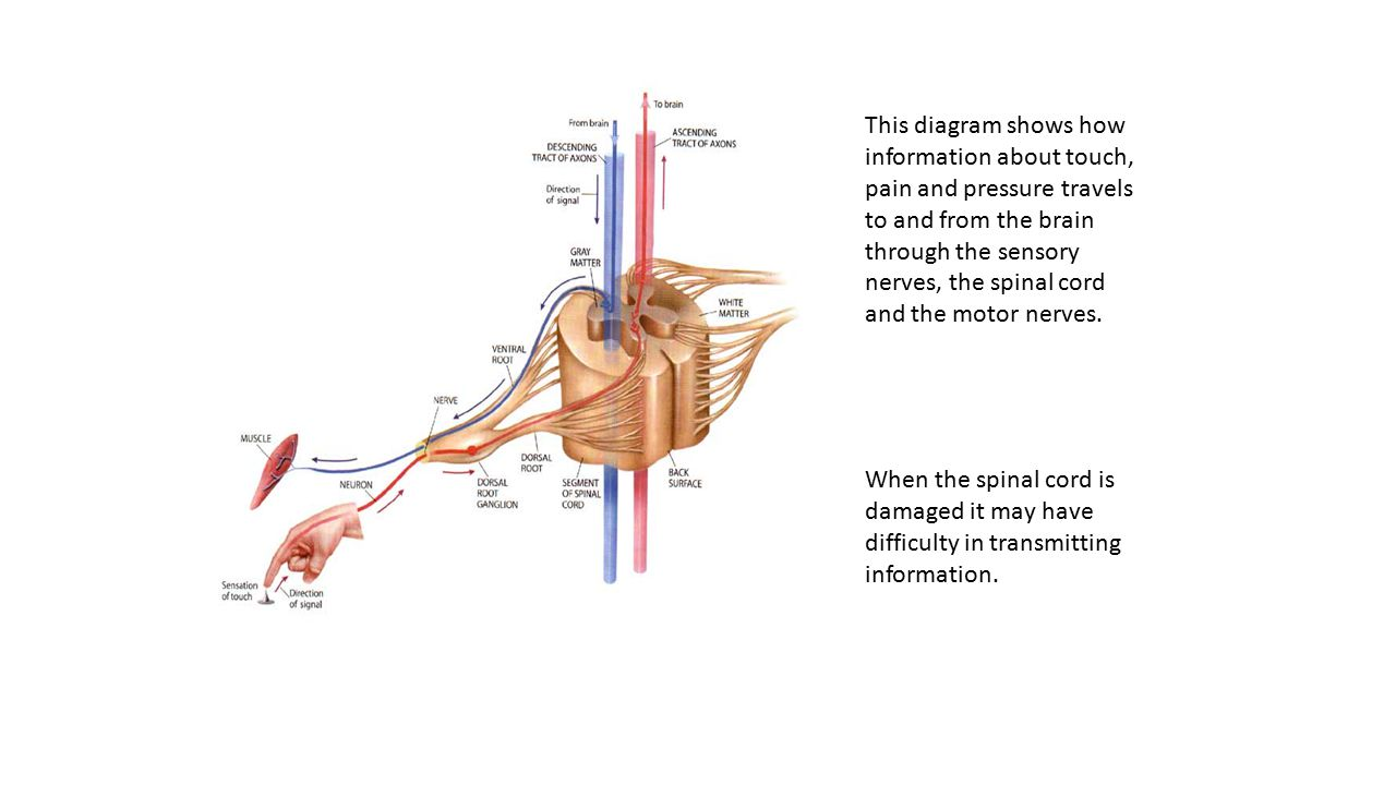 This diagram shows how information about touch, pain and pressure travels to and from the brain through the sensory nerves, the spinal cord and the motor nerves.