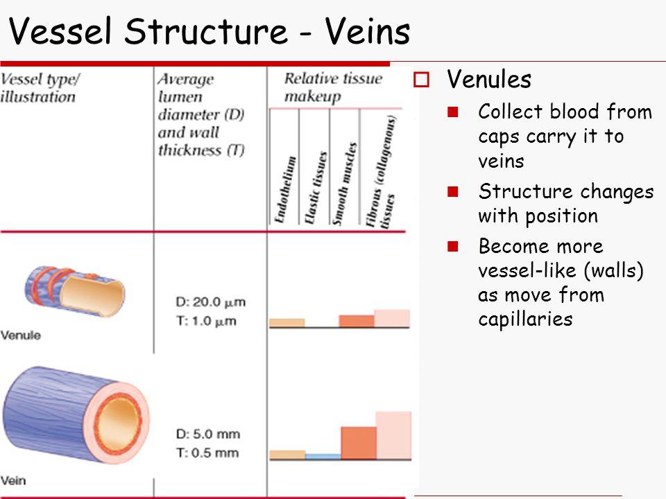 Vessel Structure - Veins