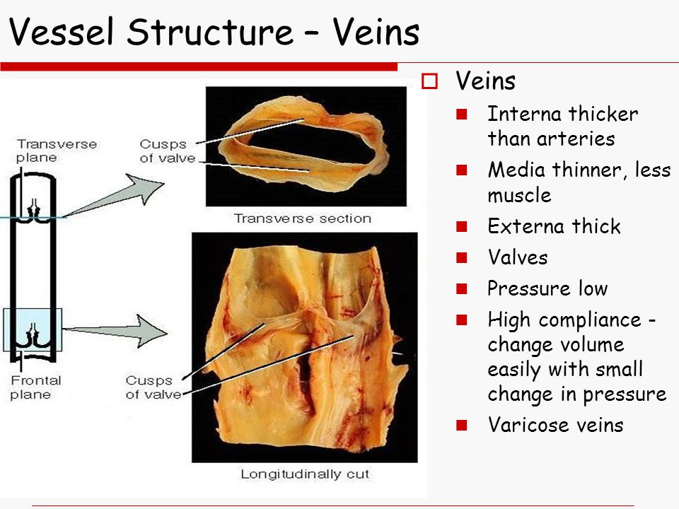 Vessel Structure – Veins