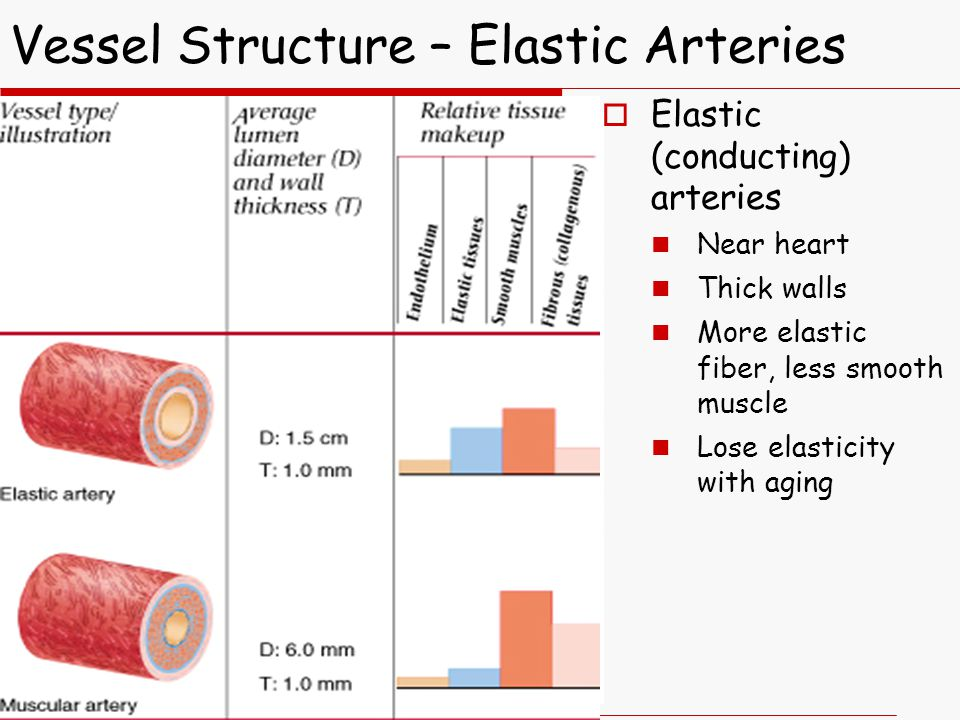 Vessel Structure – Elastic Arteries