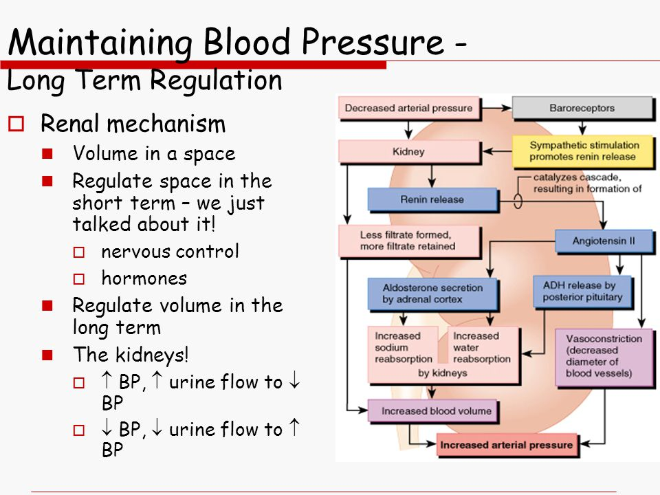 Maintaining Blood Pressure - Long Term Regulation