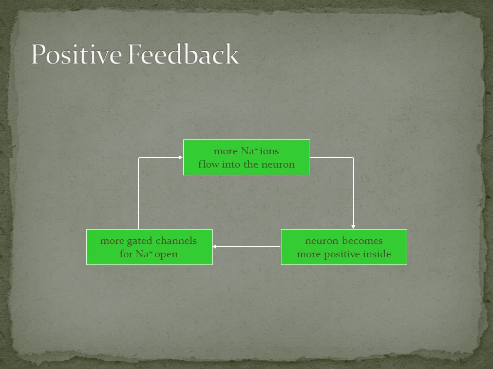 Positive Feedback more Na+ ions flow into the neuron