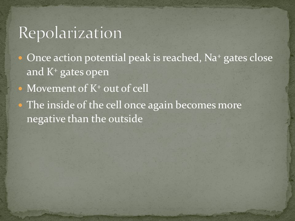 Repolarization Once action potential peak is reached, Na+ gates close and K+ gates open. Movement of K+ out of cell.
