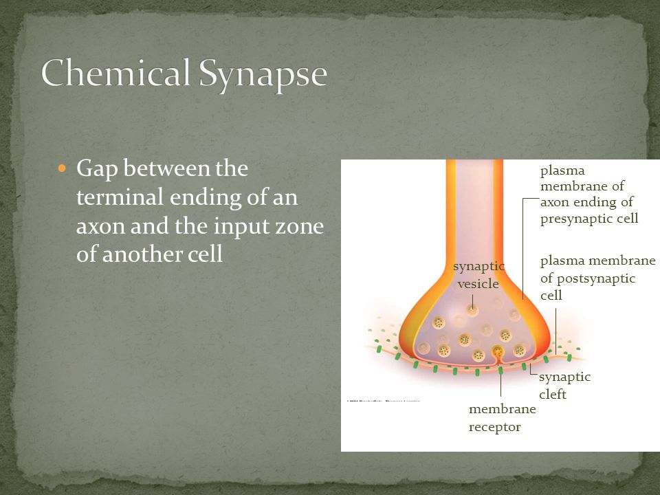 Chemical Synapse Gap between the terminal ending of an axon and the input zone of another cell.