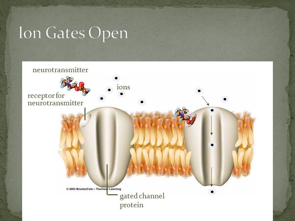 Ion Gates Open neurotransmitter ions receptor for neurotransmitter