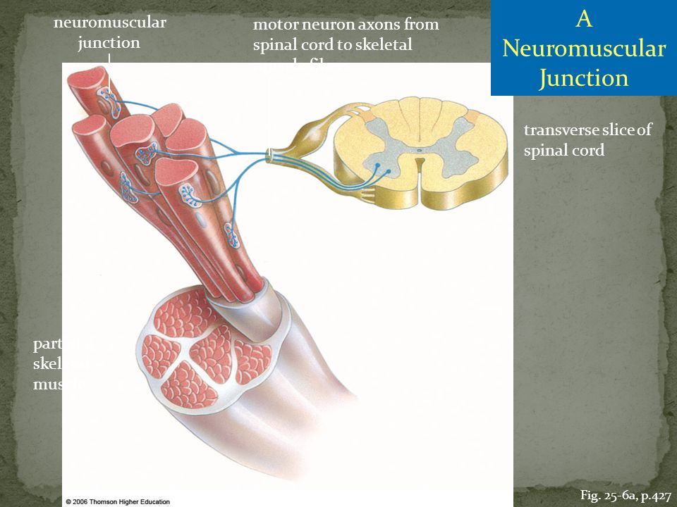 A Neuromuscular Junction