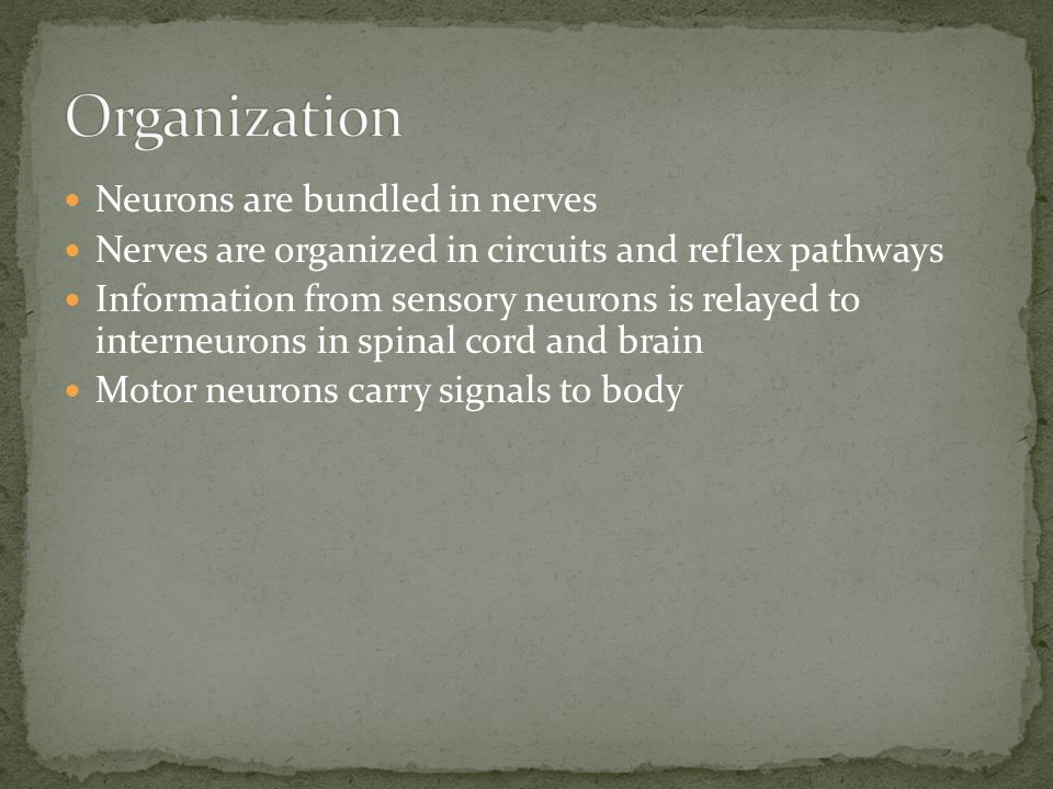 Organization Neurons are bundled in nerves