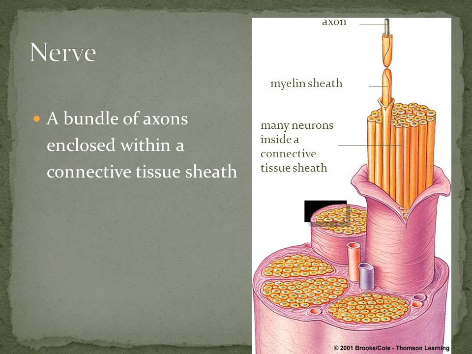 Nerve A bundle of axons enclosed within a connective tissue sheath