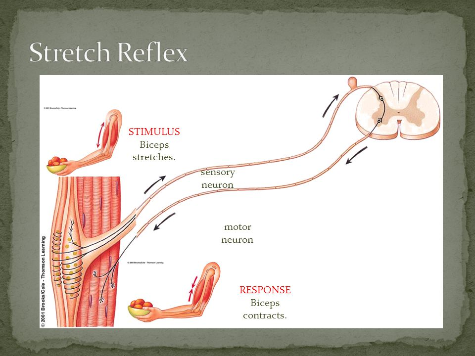 Stretch Reflex STIMULUS Biceps stretches. sensory neuron motor neuron