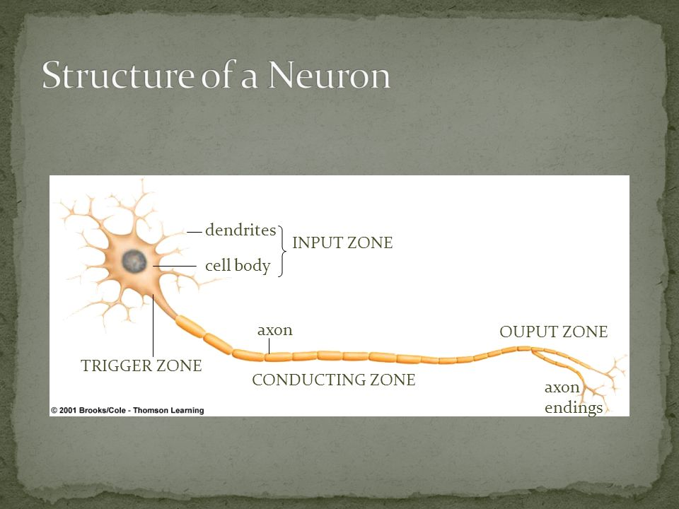 Structure of a Neuron dendrites INPUT ZONE cell body axon OUPUT ZONE