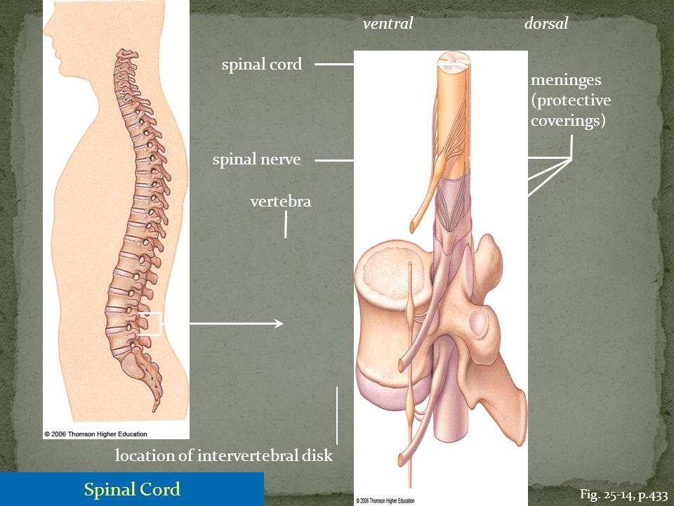 Spinal Cord ventral dorsal spinal cord meninges (protective coverings)