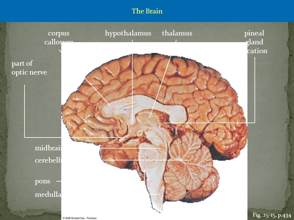 The Brain corpus callosum hypothalamus thalamus pineal gland location