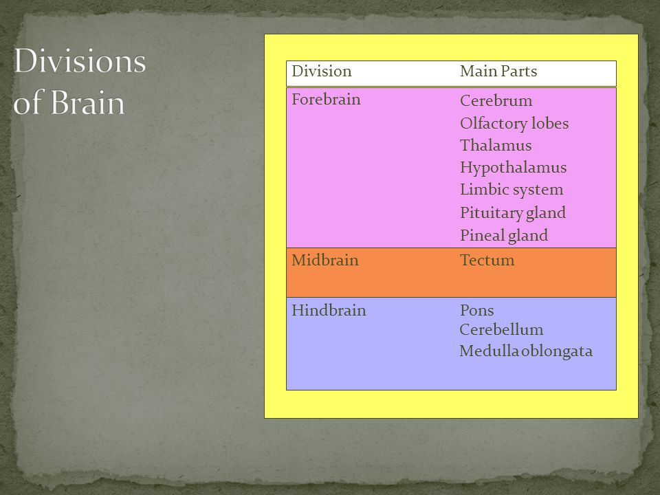 Divisions of Brain Division Main Parts Forebrain Cerebrum