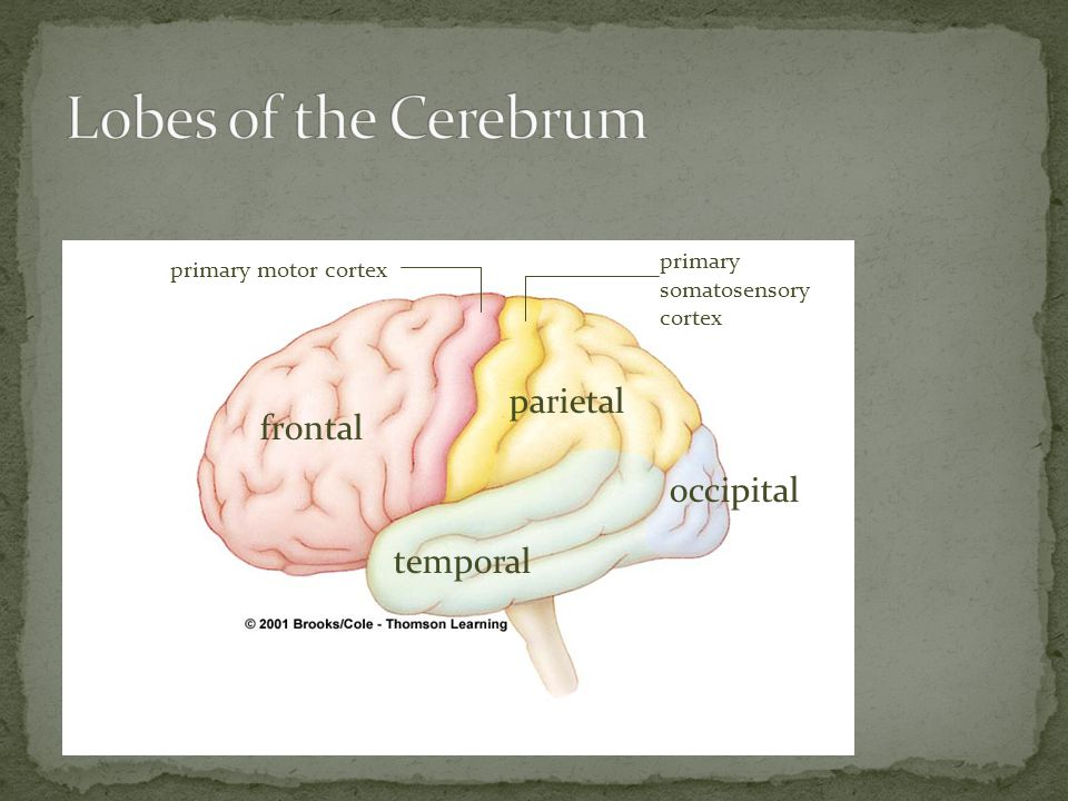 Lobes of the Cerebrum parietal frontal occipital temporal