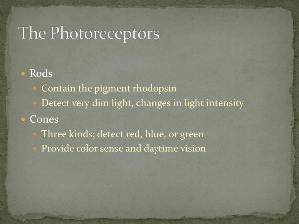 The Photoreceptors Rods Cones Contain the pigment rhodopsin