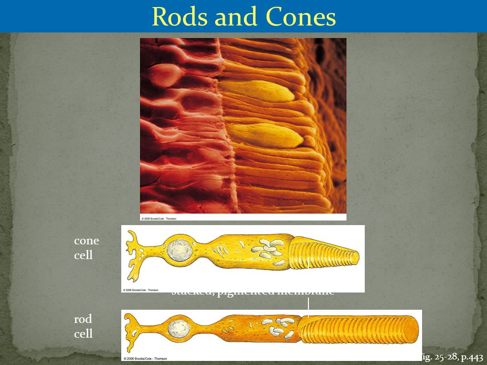 Rods and Cones cone cell stacked, pigmented membrane rod cell