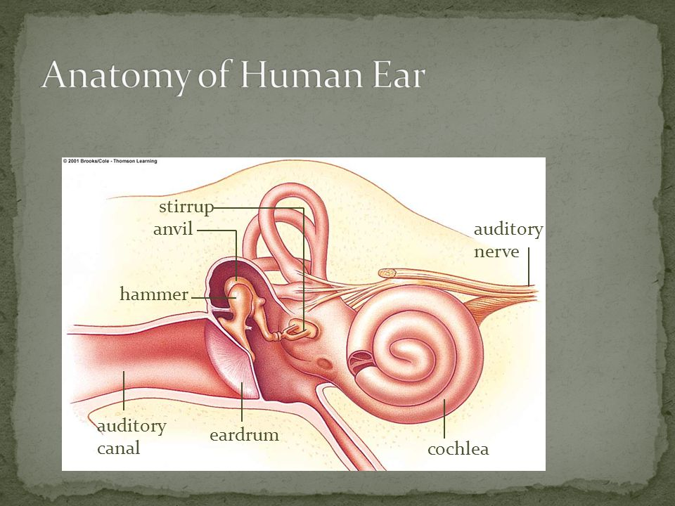 Anatomy of Human Ear stirrup anvil auditory nerve hammer
