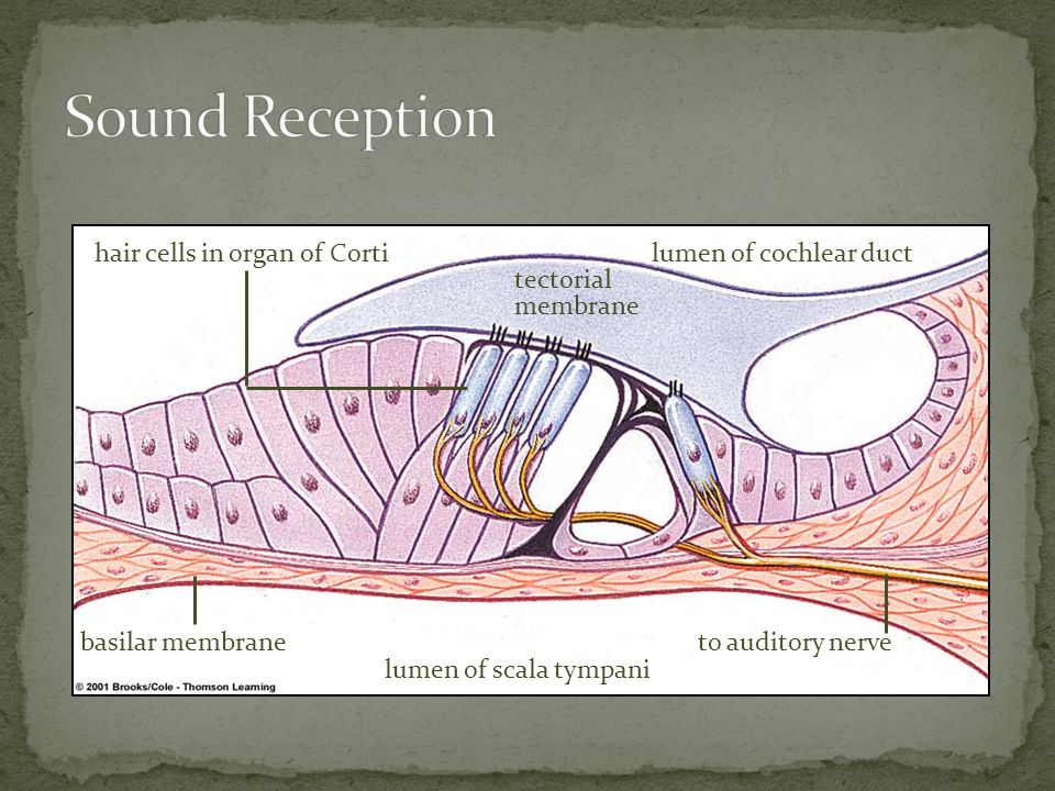 Sound Reception hair cells in organ of Corti lumen of cochlear duct