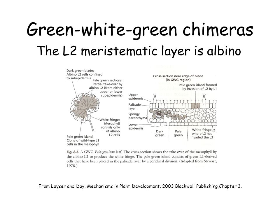 Green-white-green chimeras