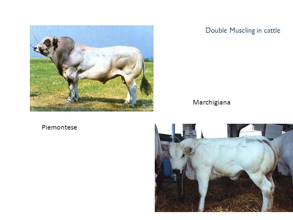 Double Muscling in cattle