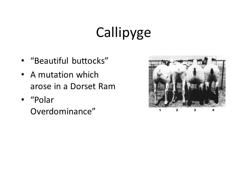 Callipyge Beautiful buttocks A mutation which arose in a Dorset Ram